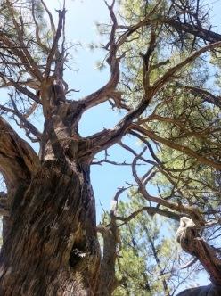 A great Oak along the Blue Ridge Trail in Lakeside, AZ. (Photo/Kendra Yost)