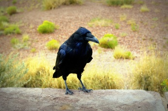 A raven in the Petrified National Monument in Arizona. Photo/Kendra Yost
