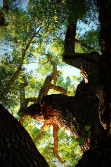 A Freemont Cottonwood Tree sits next to the San Pedro House in Sierra Vista Arizona. Photo/Kendra Yost