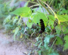 A caterpillar hangs from a leaf at the San Pedro House in Sierra Vista Arizona. Photo/Kendra Yost